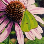 clouded-sulpher-butterfly-on-purple-coneflower